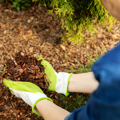 Close Up of Person Holding Mulch
